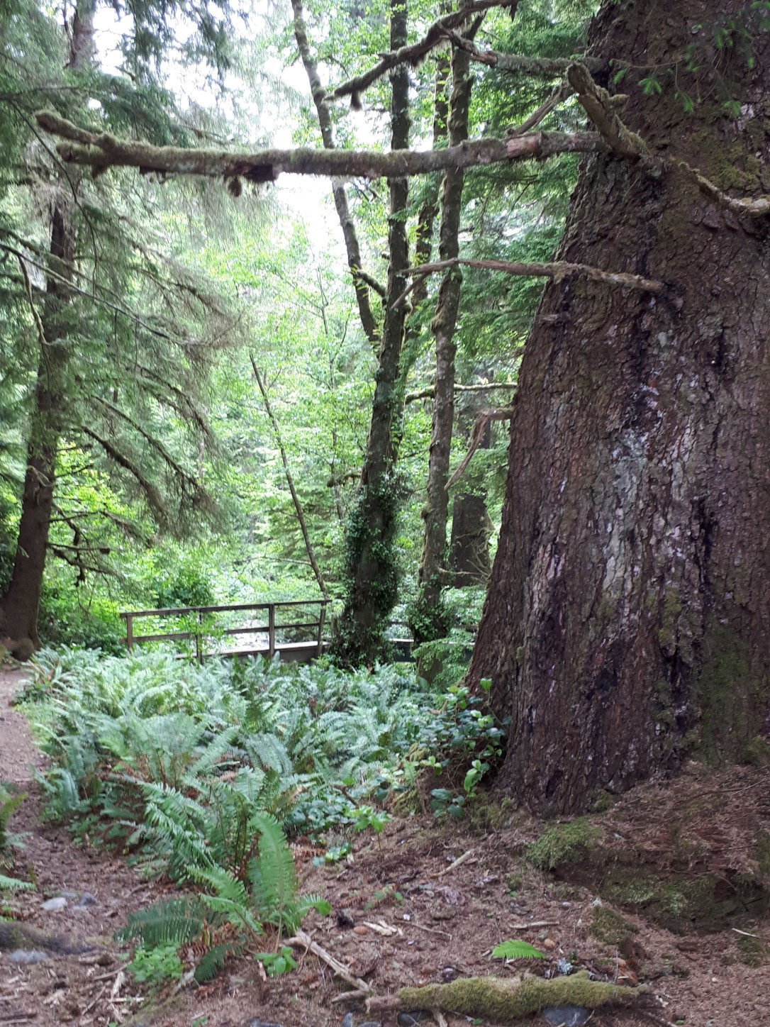Old growth cedar trees, ferns, bridge, west coast trail