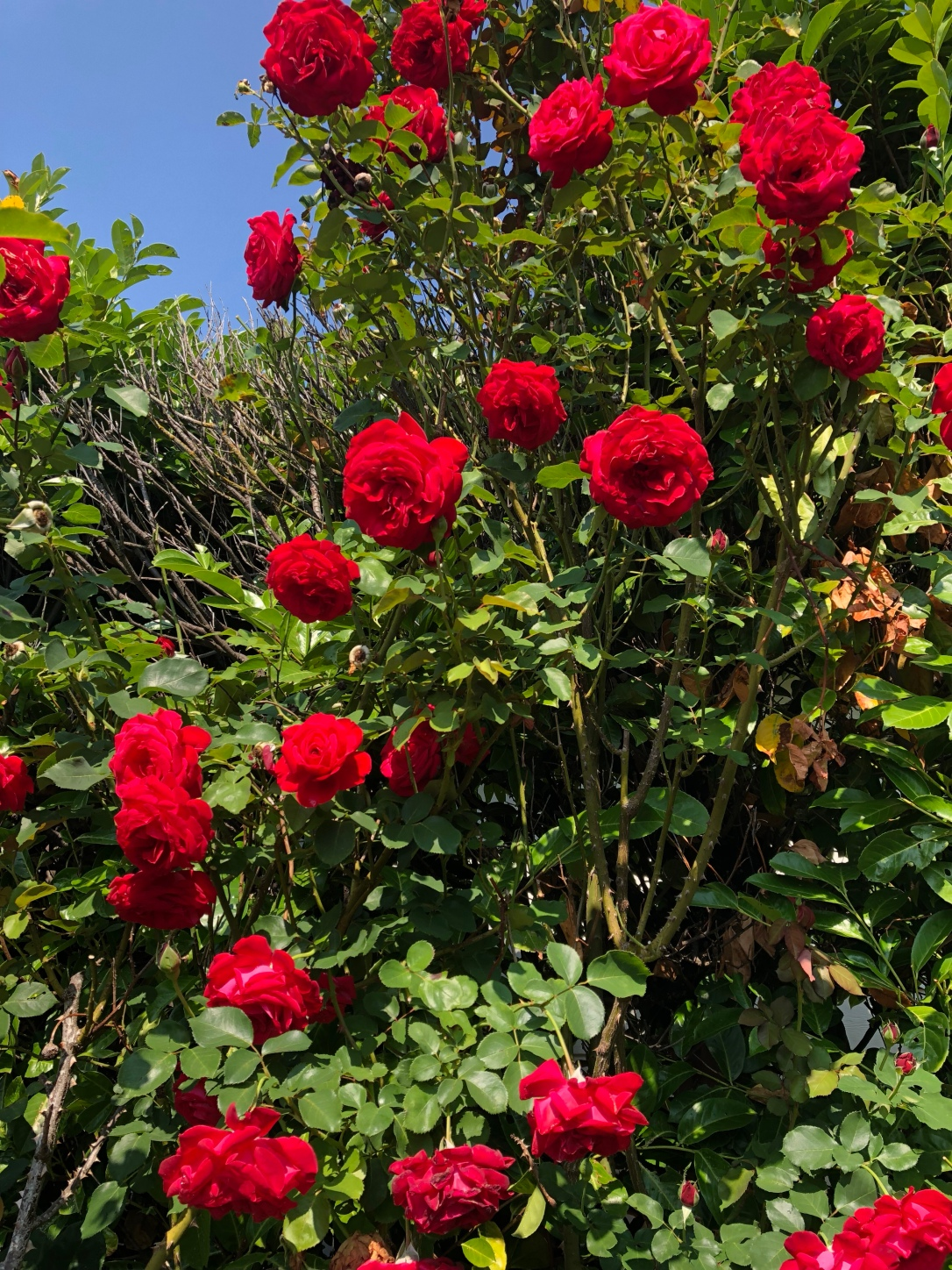 Red roses against a blue sky