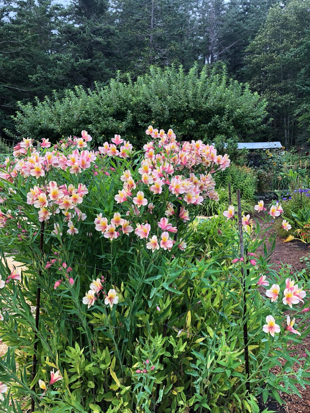 Garden, flowers, alstroemeria, west coast, hollyhock resort